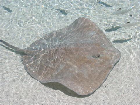 Rochen im Flachwasser (Bora Bora/Südsee)