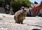 rock wallaby - granite gorge