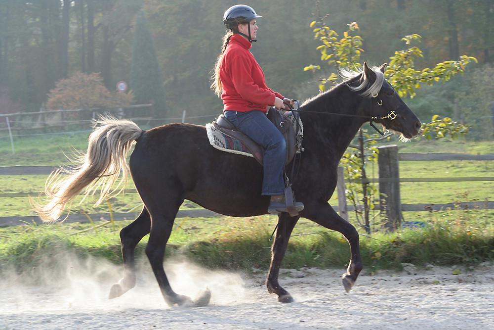Rocky Mountain Horse im Tölt...