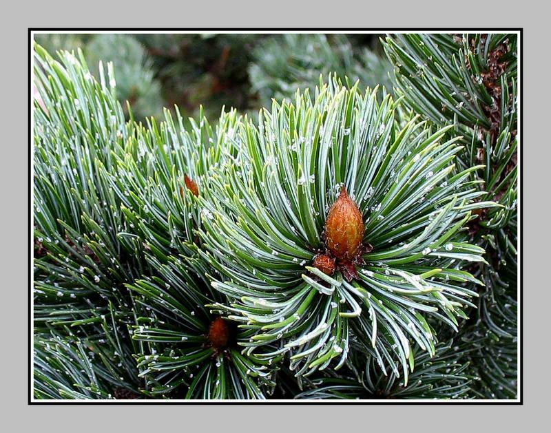 Rocky Mountains Bristlecone Pine (Pinus aristata)