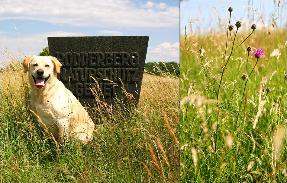 Rodderberger Dogge!