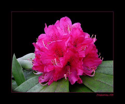 Rododendro  para Vitória Castelo Santos