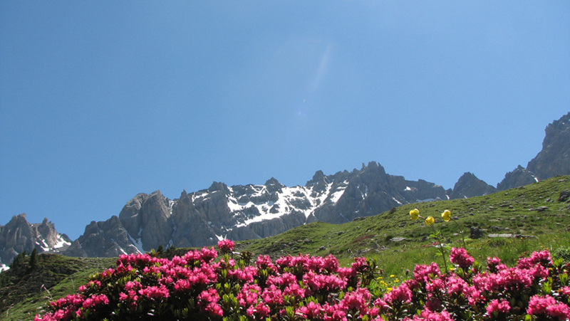 Rododendrons (Hautes-Alpes)