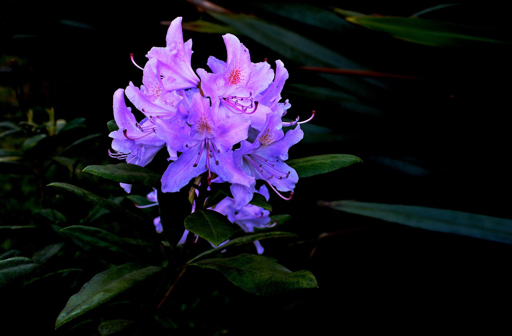 Rododendros en flor.