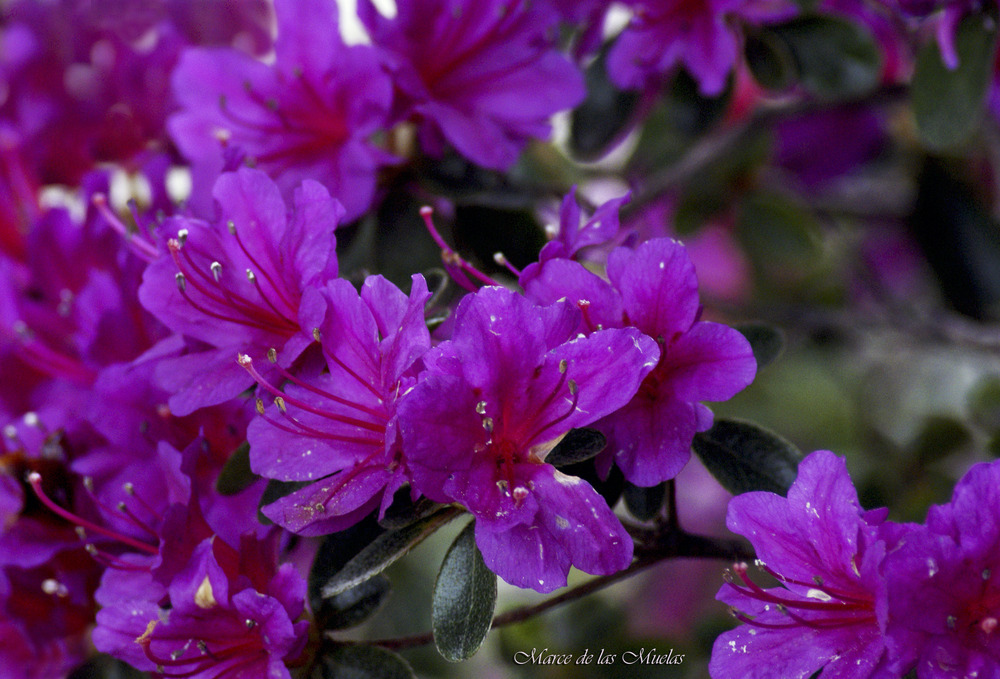 ...rododendros lilas...