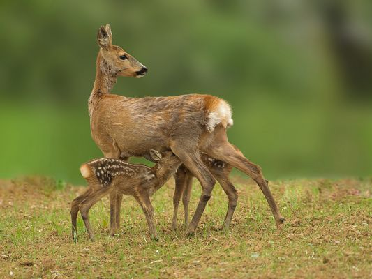 Roe deer with drinking fawns