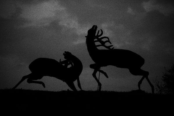 Röhrende Hirsche