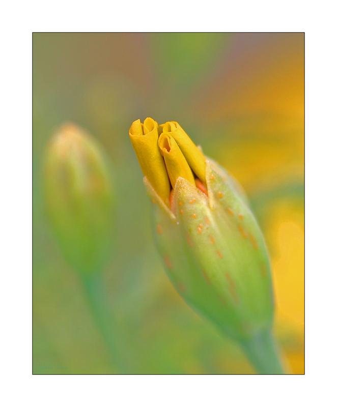 Röllchenblume