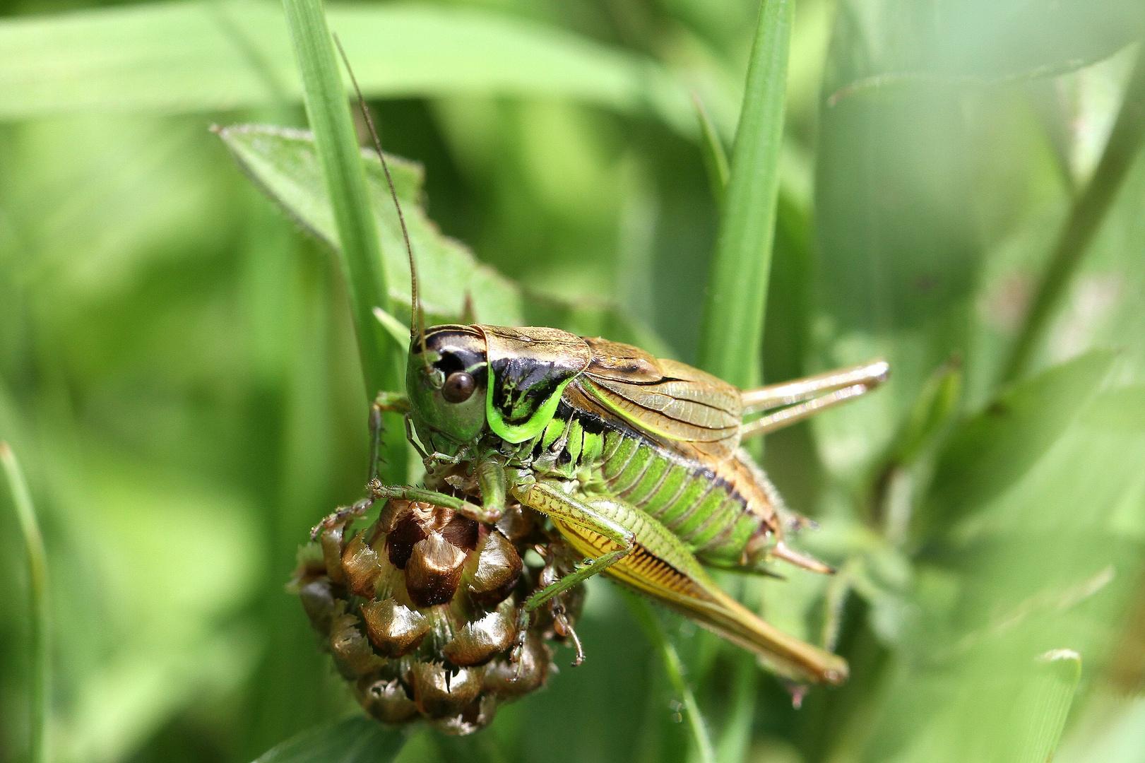 Roesels Beißschrecke (Metrioptera roeseli)