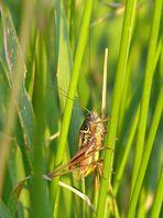 Roesels Beißschrecke - Metrioptera roeselii