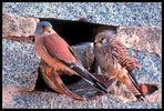 - Rötelfalken - ( Falco naumanni )