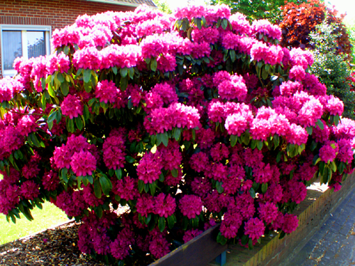 Rohdodendron pink Farbe