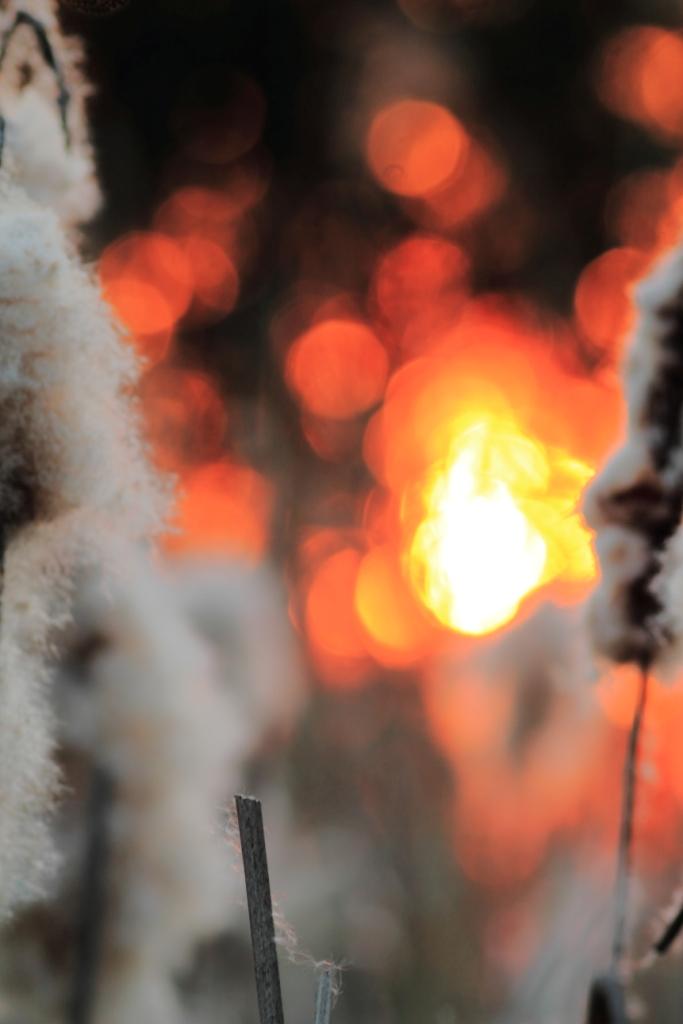 Rohrkolben im allerletzten Sonnenfeuer