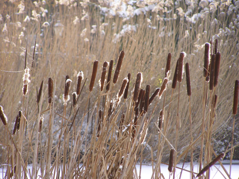 Rohrkolben im Winter.
