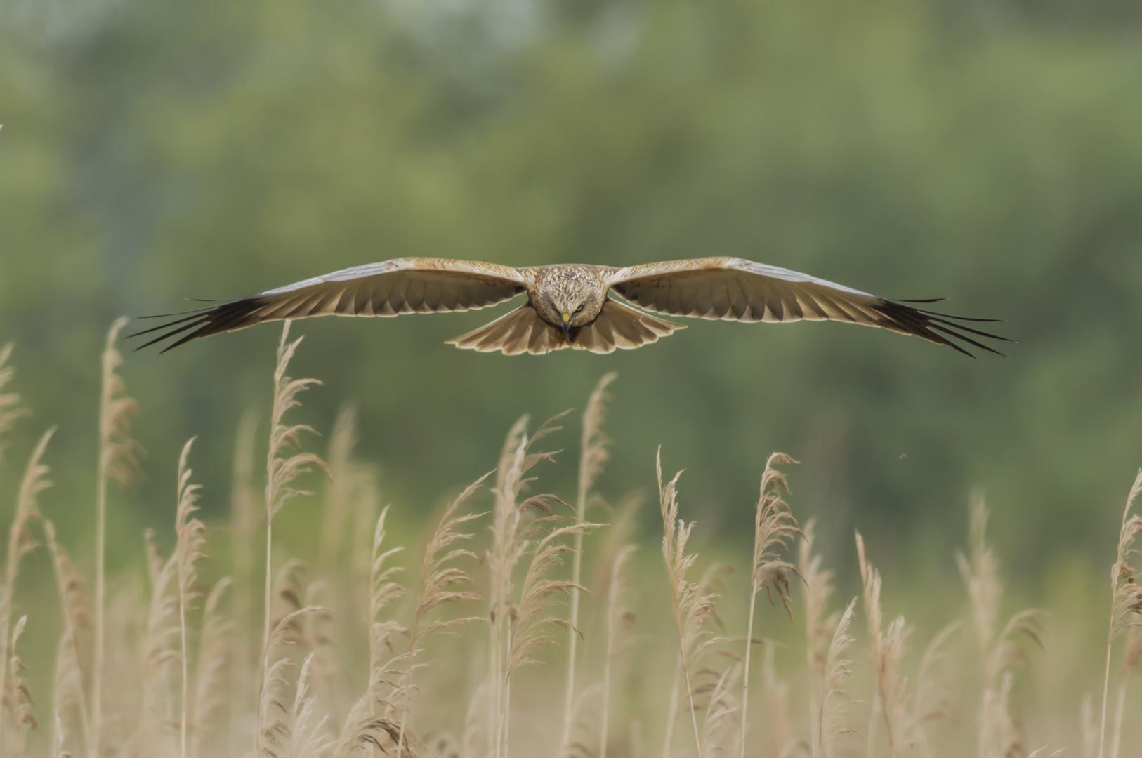 Rohrweihe im Gleitflug