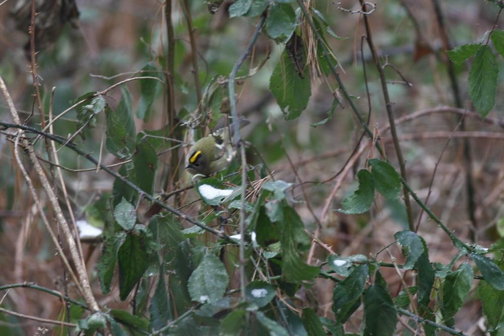 Roitelet Huppé femelle( Regulus regulus)