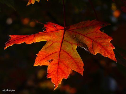 rojo de otoño