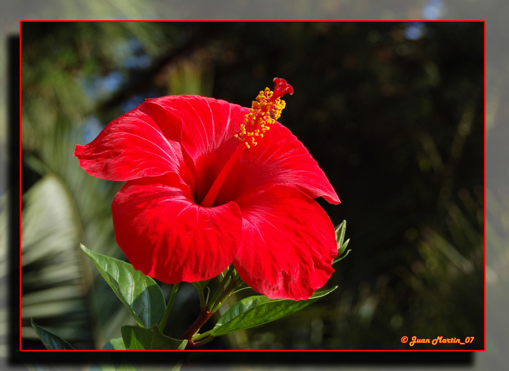 Rojo Intenso (Hibisco)