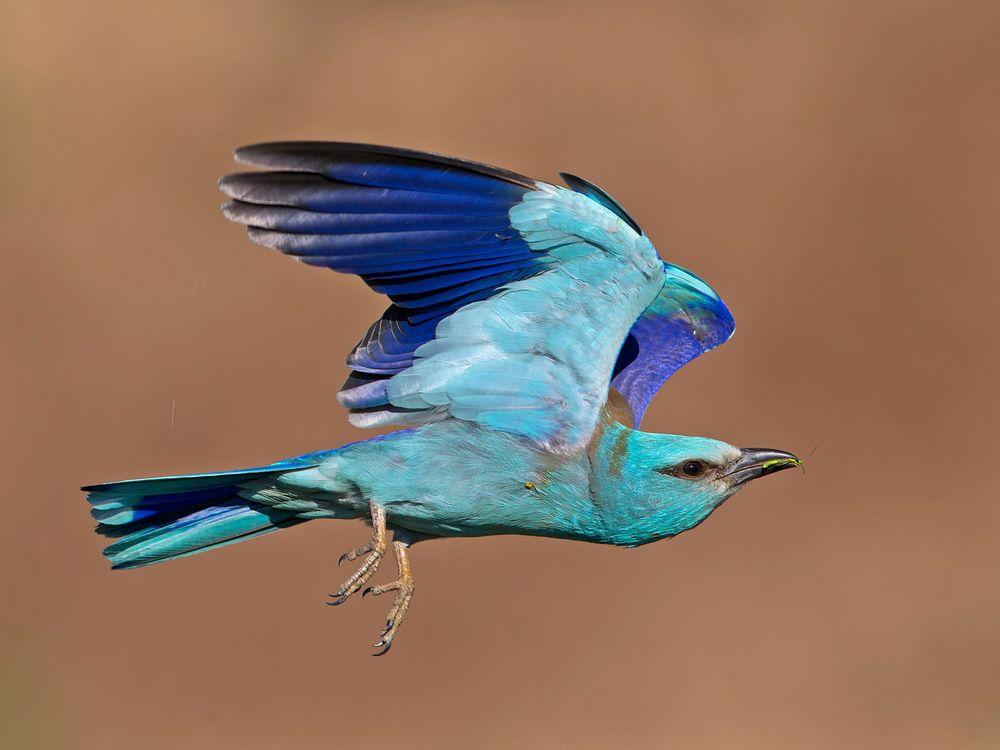 Roller in flight