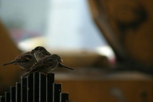 Romania song birds