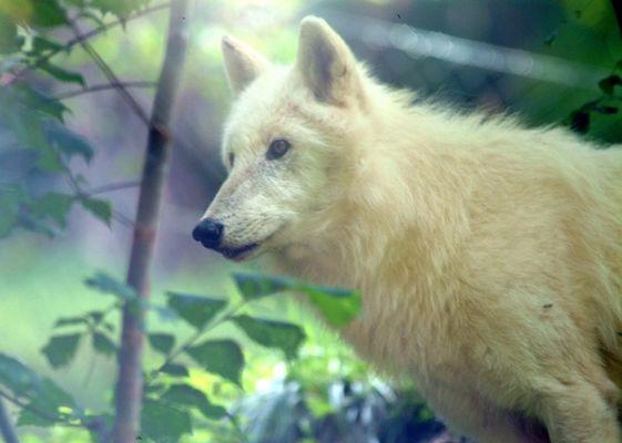 Romantischer Wolf im Schafspelz