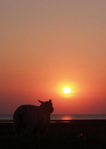 Romantisches Schaf
