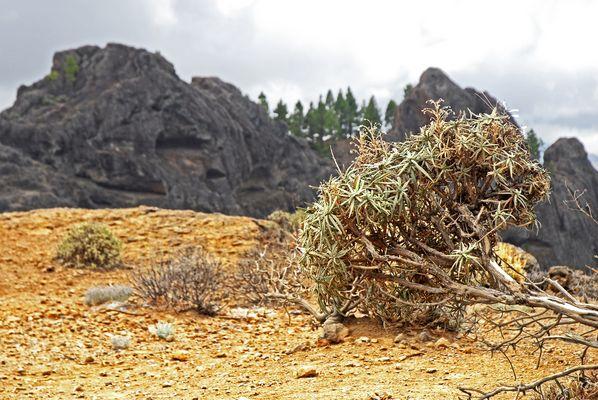 Roque Nublo: Die Vegetation