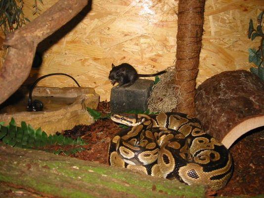 Roque und Maus