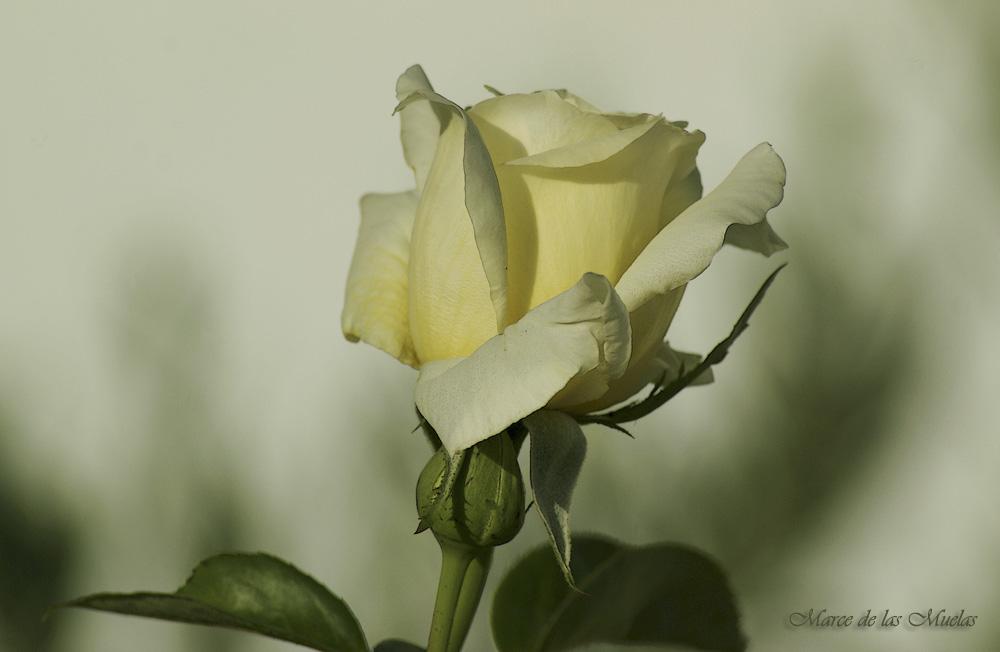 ...rosa amarillo palido...