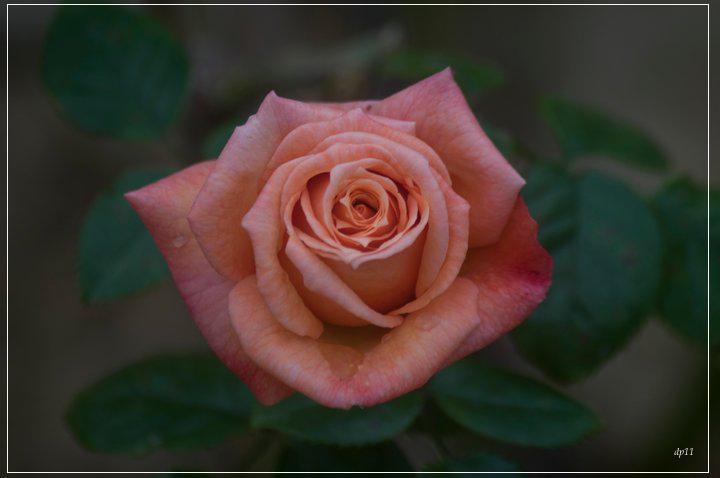 Rosa antico foto immagini piante fiori e funghi foto for Rose color rosa antico
