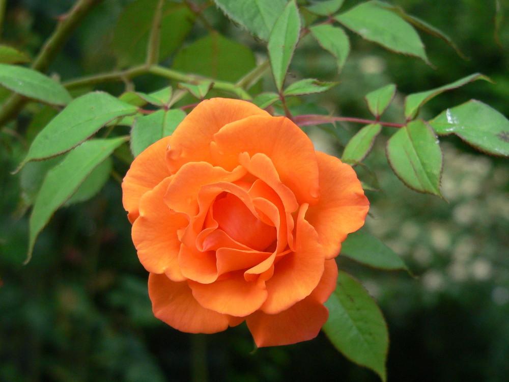 Rosa arancio - fascino