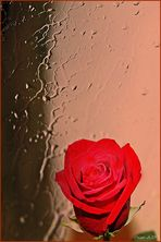 Rosa bajo la lluvia...
