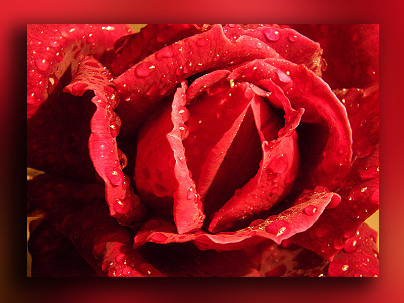 rosa bajo la lluvia