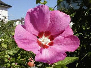 rosa Belle