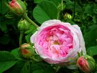 Rosa belle isis