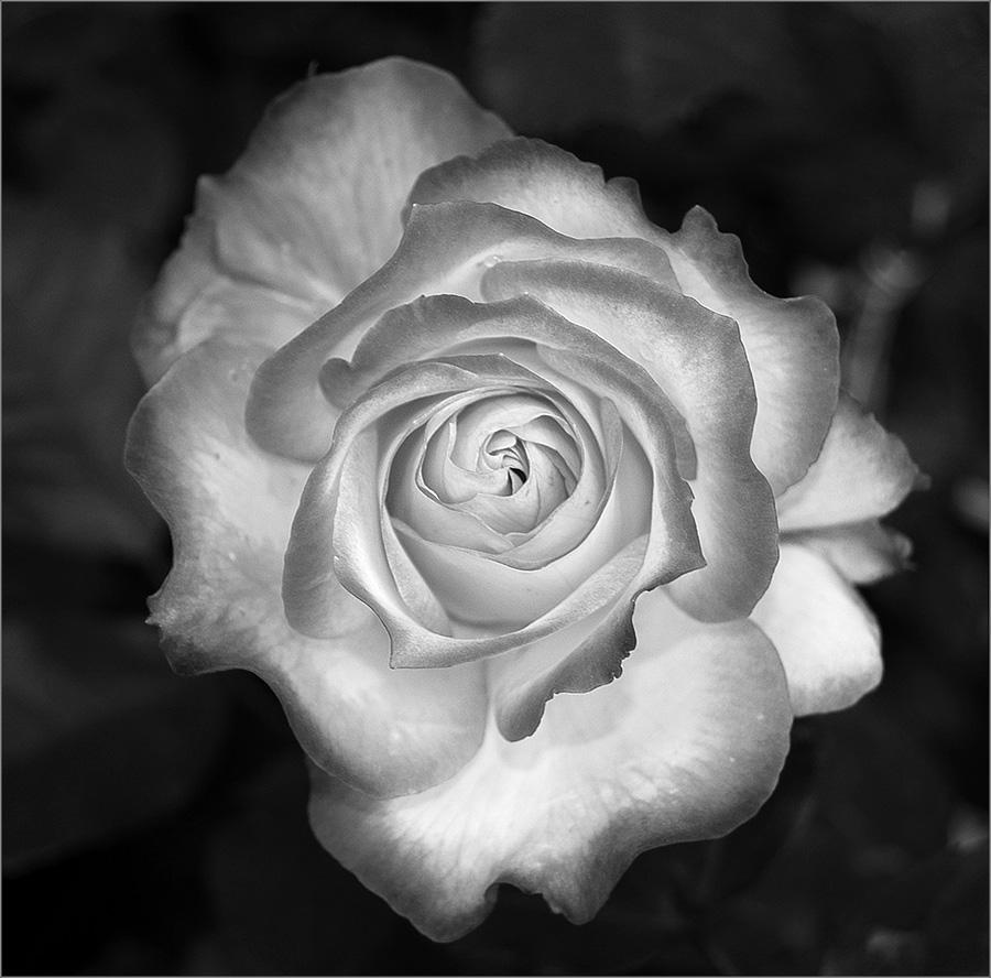 Rosa bianco nero foto immagini piante fiori e funghi for Foto hd bianco e nero