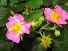 Rosa blühende Erdbeeren