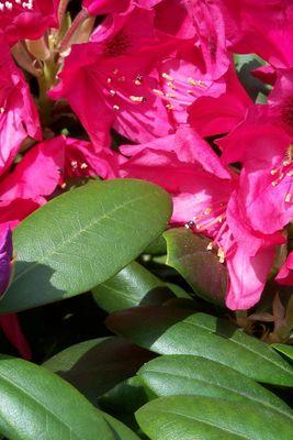rosa blühten