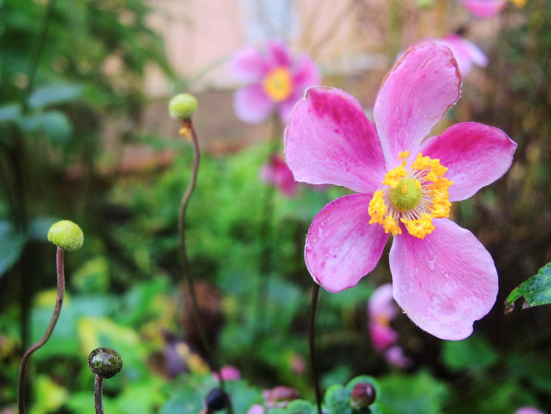 rosa Blümchen