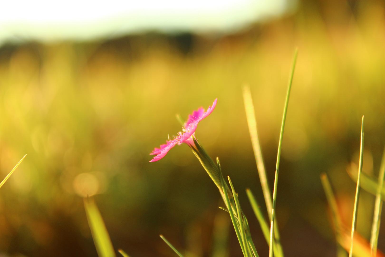 Rosa Blüte auf Feld - Nahaufnahme Sunset