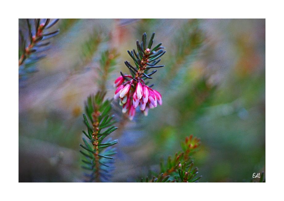 * rosa Blüten*