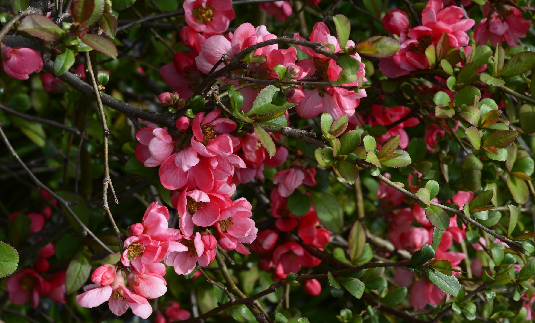 rosa Blüten der gelben Heckenquitte