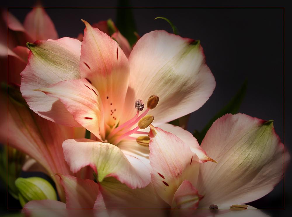 Rosa Blüten der Inkalilie....