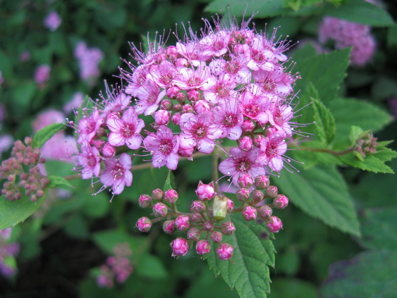 rosa bl ten foto bild pflanzen pilze flechten natur bilder auf fotocommunity. Black Bedroom Furniture Sets. Home Design Ideas