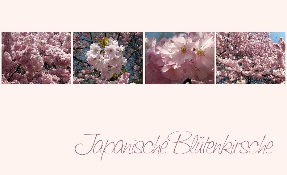 Rosa Blütenmeer