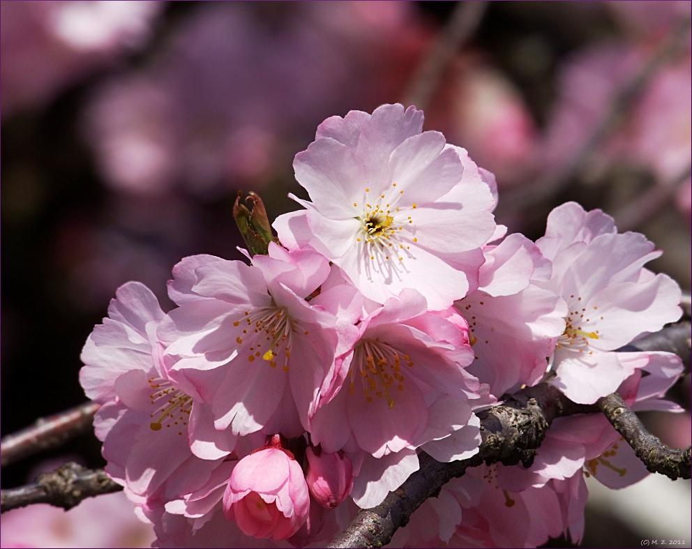 Rosa Blütenrausch
