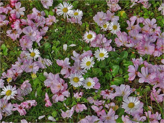 Rosa Blütenteppich
