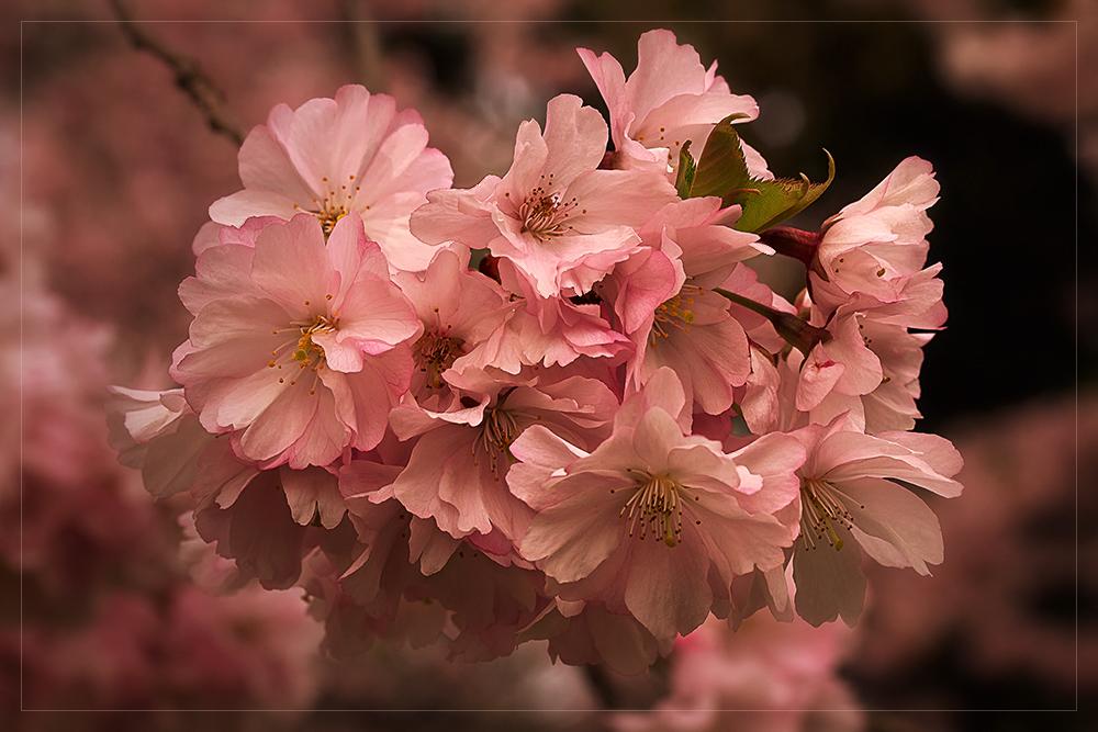 Rosa Blütentraum... ~ Sakura - Kirschblüte ~