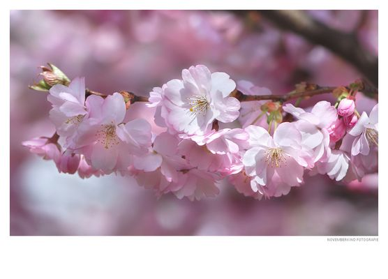 rosa BlütenWolken