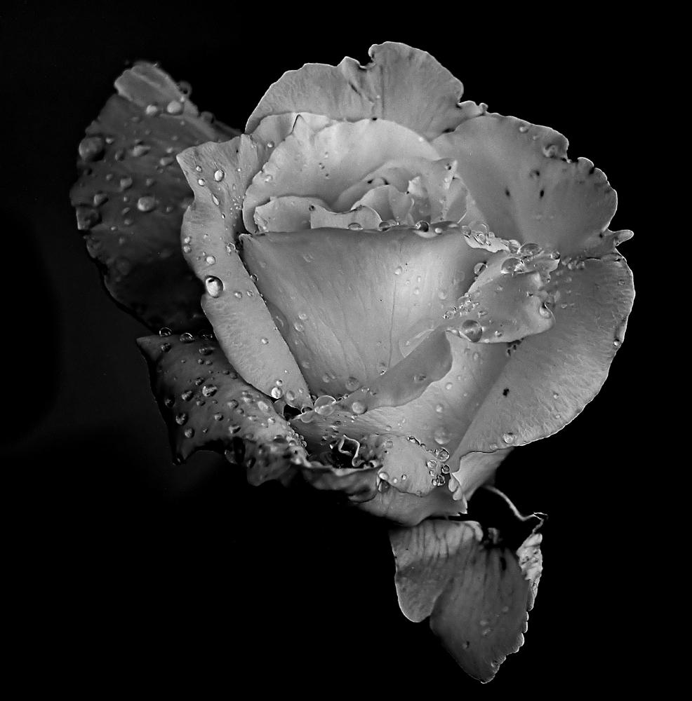 Rosa bn foto immagini tecniche speciali bianco e nero for Foto alta definizione bianco e nero